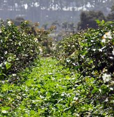 慣行茶 vs 生態茶s