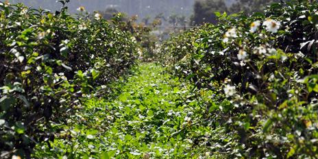 慣行茶 vs 生態茶